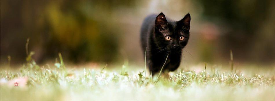 """Résultat de recherche d'images pour """"Le chat noir l'animal"""""""